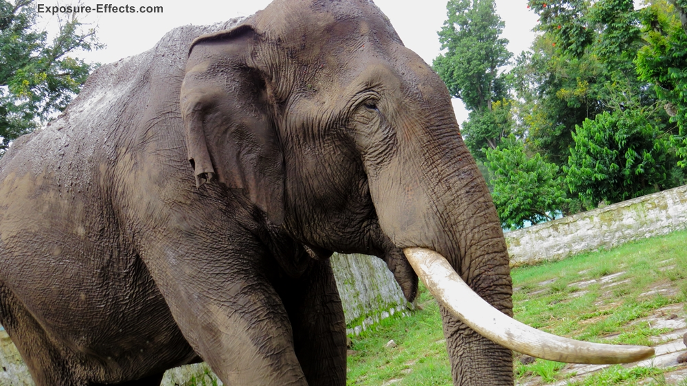 Elephants at Jungle lodges and resorts Dubare Elephant Camp