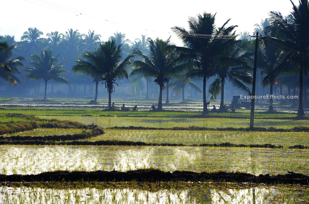 Rice Paddy fields Hampi Karnataka
