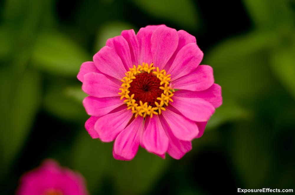 Lalbagh Botanical Garden Bangalore pink flowers