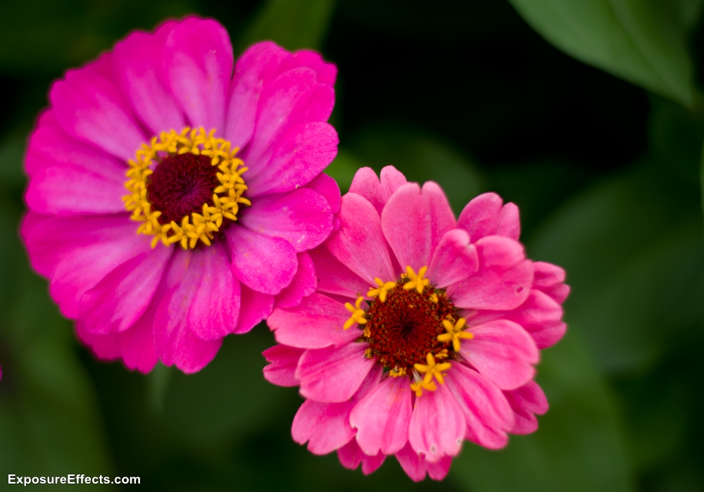 Lalbagh Botanical Garden pink flowers Bangalore
