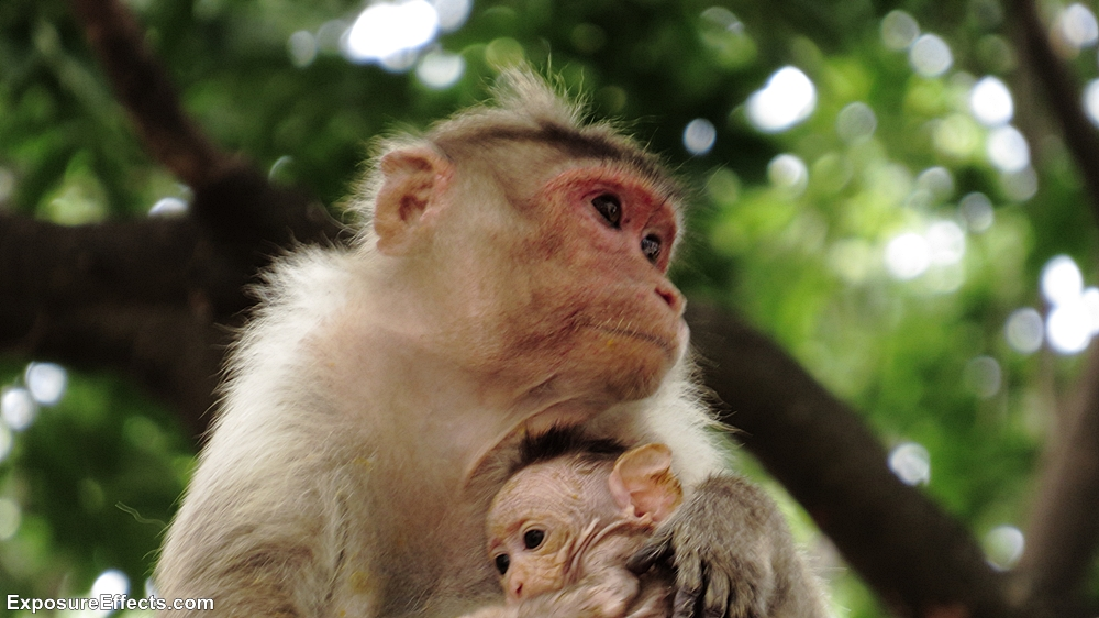 Monkey with baby at Lalbagh Botanical Garden Bangalore