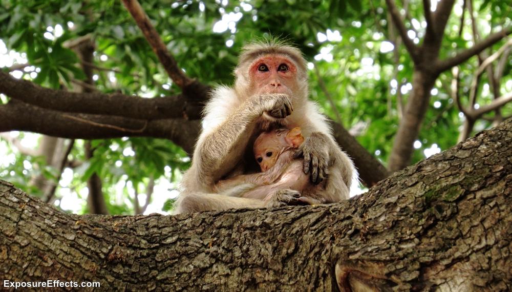 Monkeys at Lalbagh Botanical Garden Bangalore