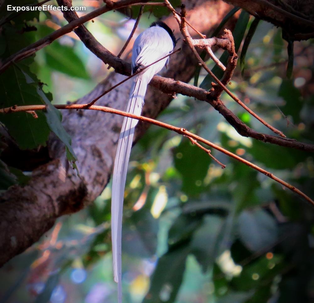 Birds Dandeli Paradise Fly Catcher