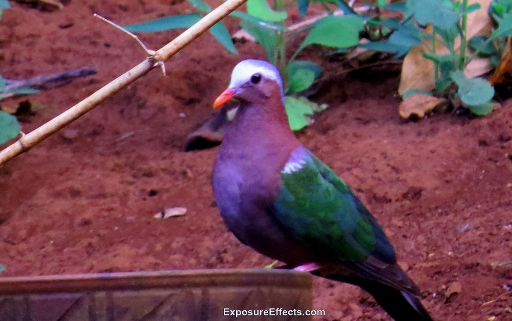 Birds in Dandeli Common Emerald Dove Pictures