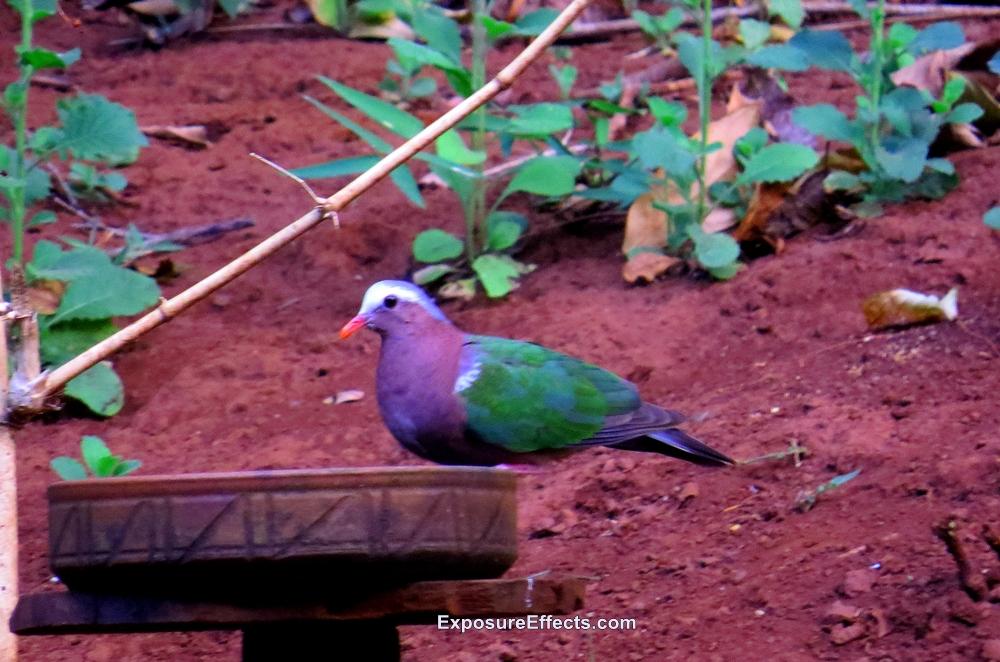 Birds in Dandeli Common Emerald Dove