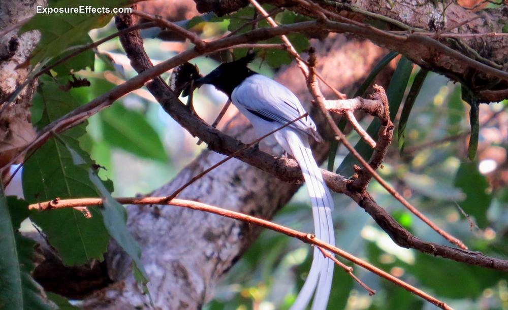 Birds in Dandeli Paradise Fly Catcher