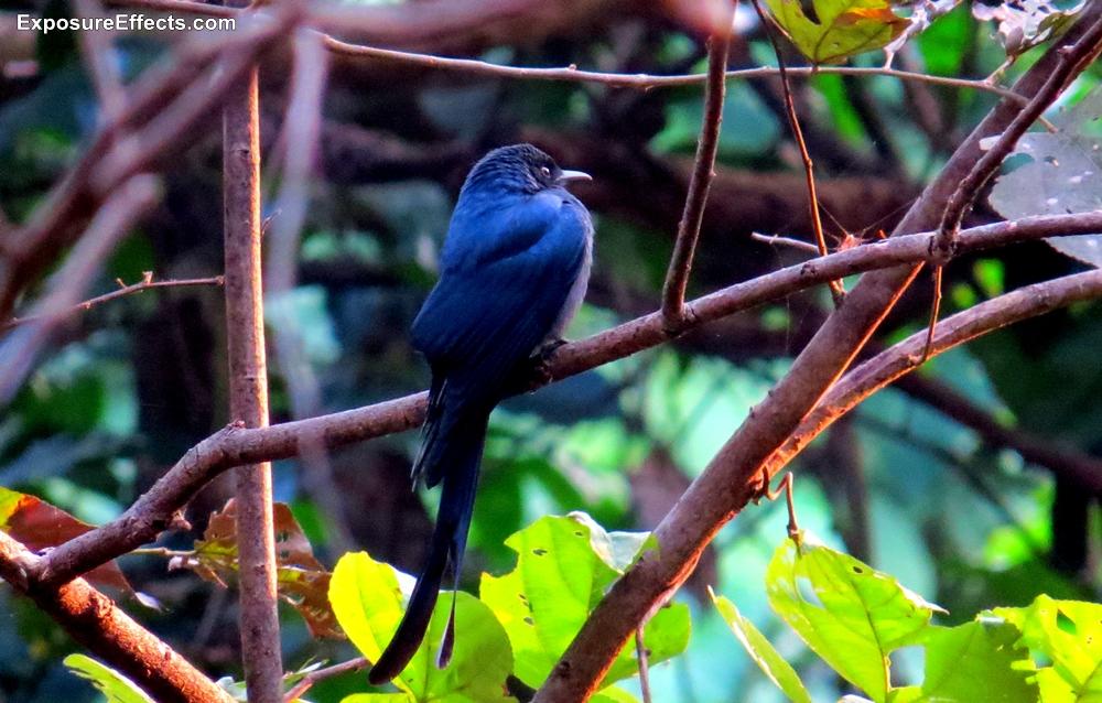 Black Drongo Bird Pictures