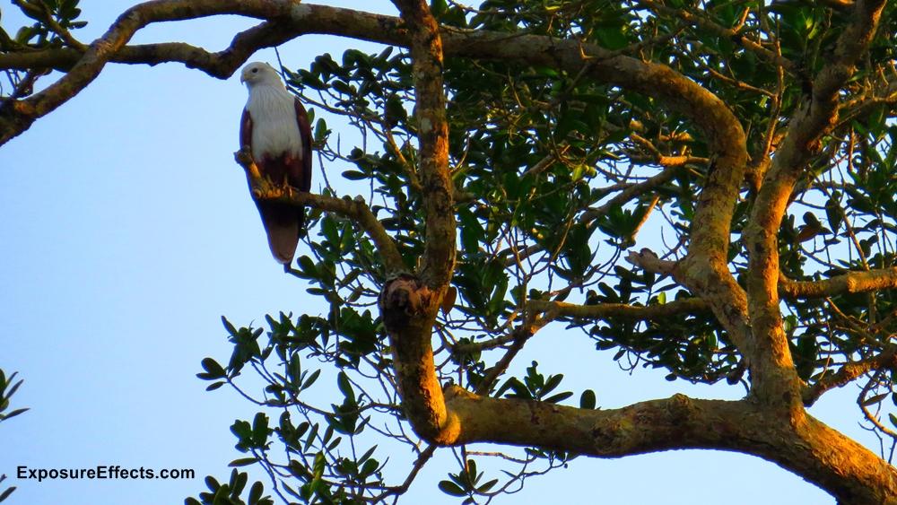 Brahminy Kite India