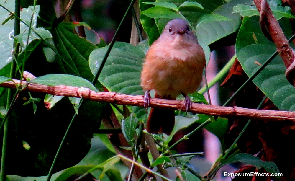 Brown Cheeked Fulvetter Bird