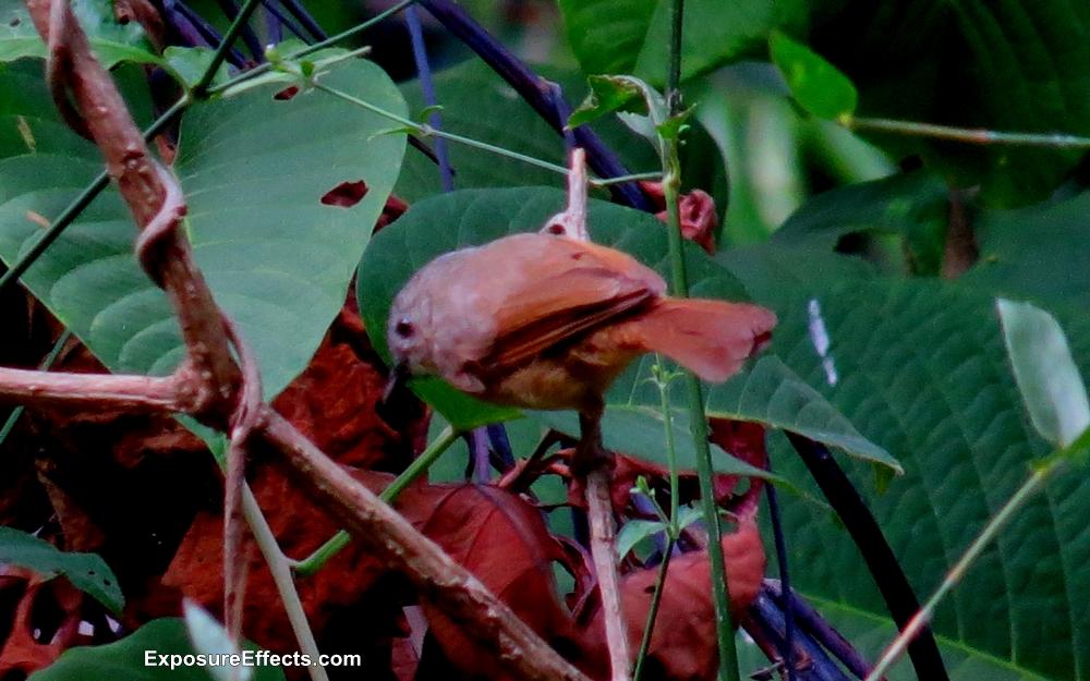 Brown Cheeked Fulvetter Dandeli Birds
