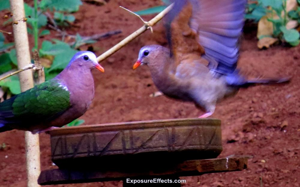 Common Emerald Dove Male Female