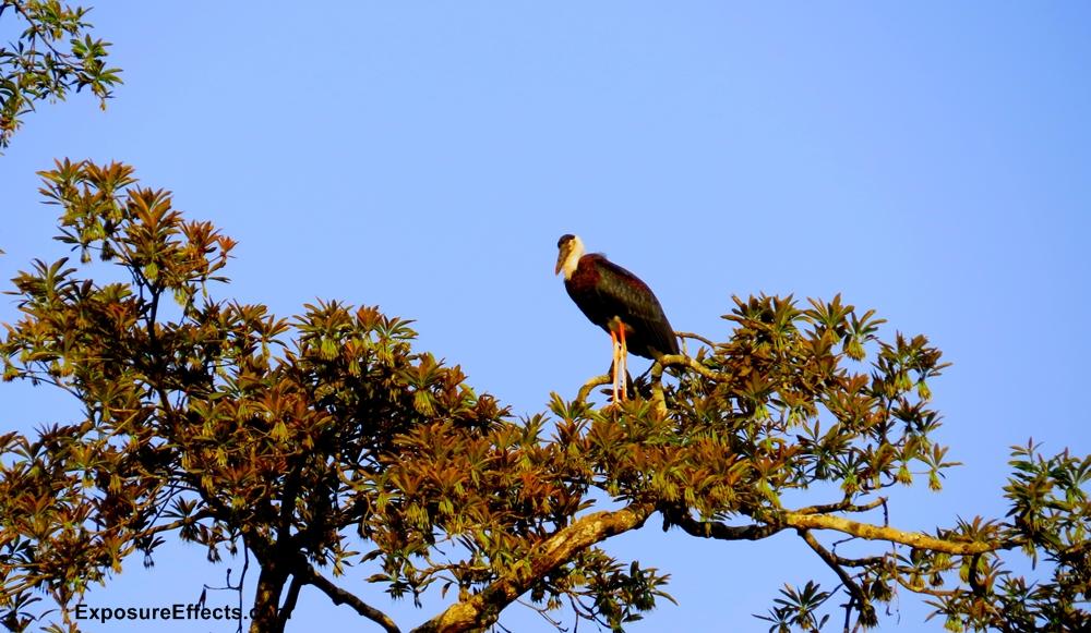 Dandeli Birds Woolly Necked Stork