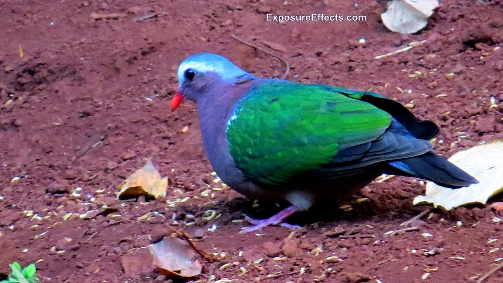 Emerald Dove in Dandeli