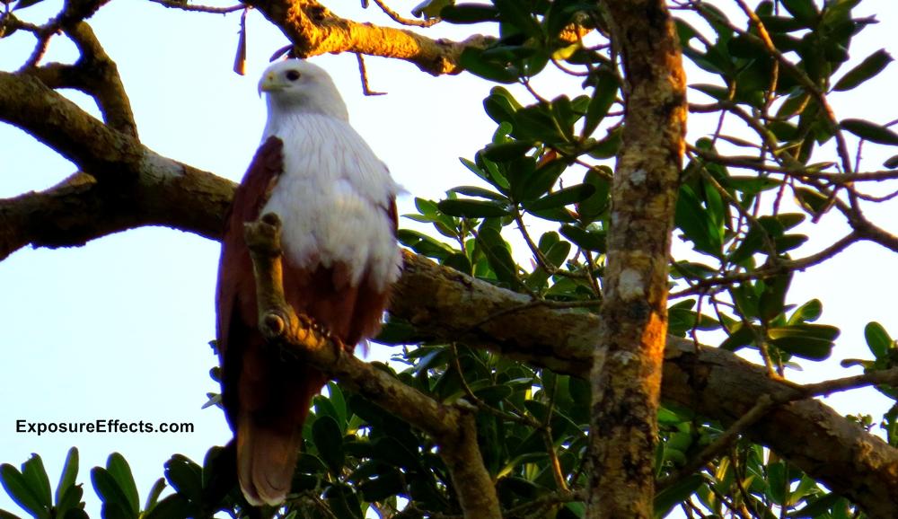 Karnataka Birds Brahminy Kite