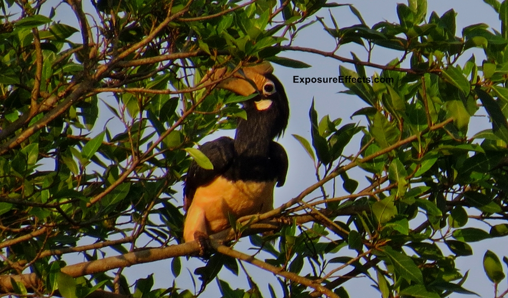 Malabar Pied Hornbills in Dandeli