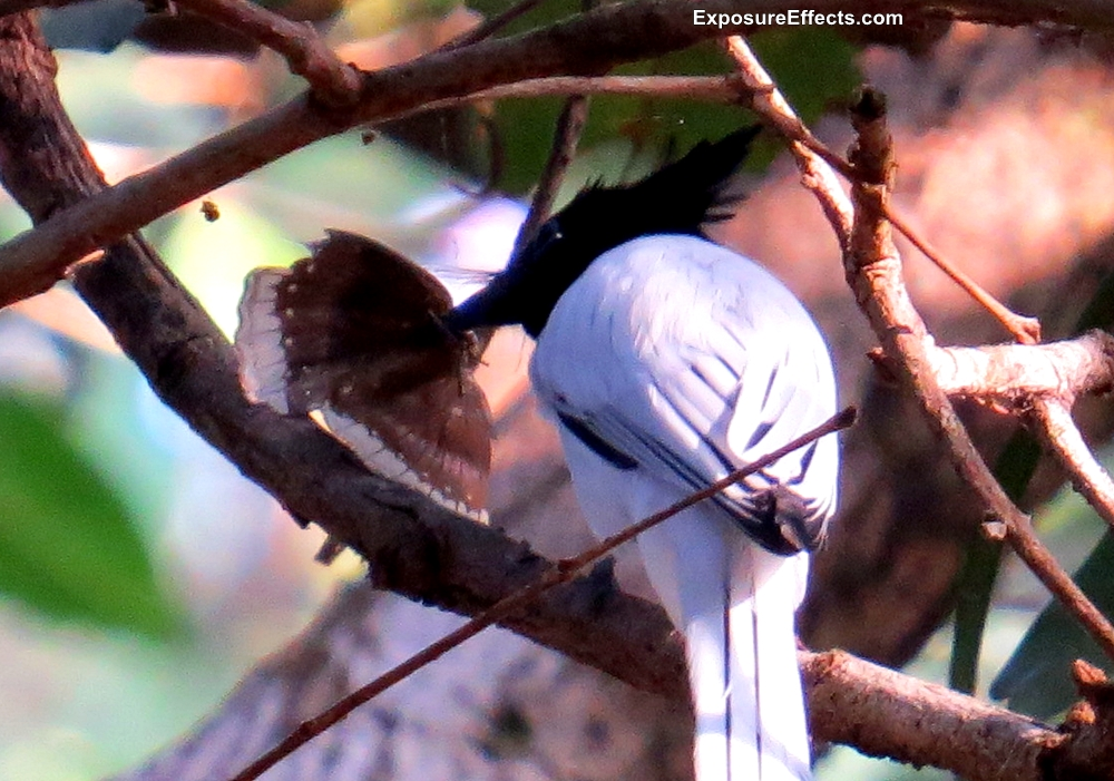 Paradise Fly Catcher Birds in India