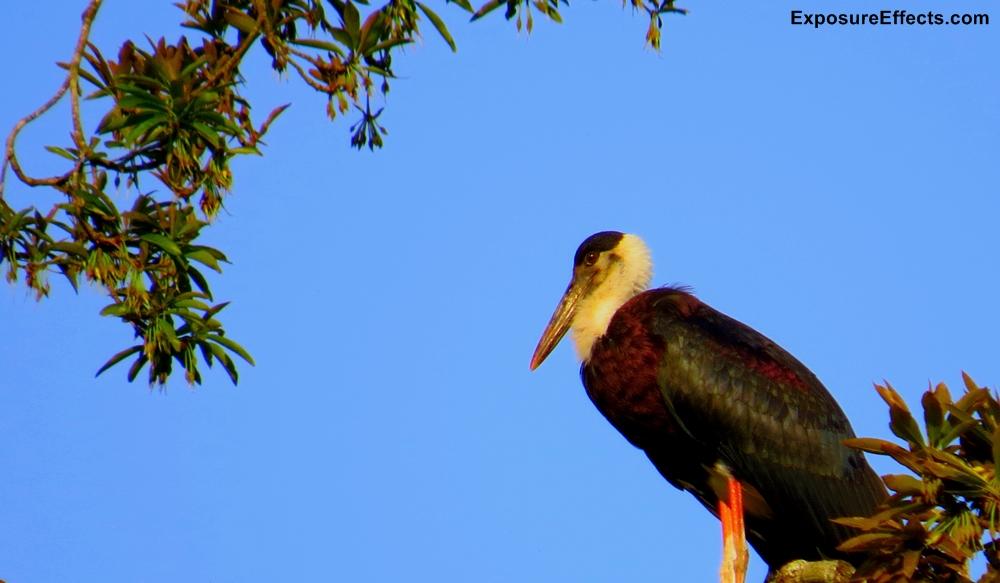 Woolly Necked Stork Dandeli