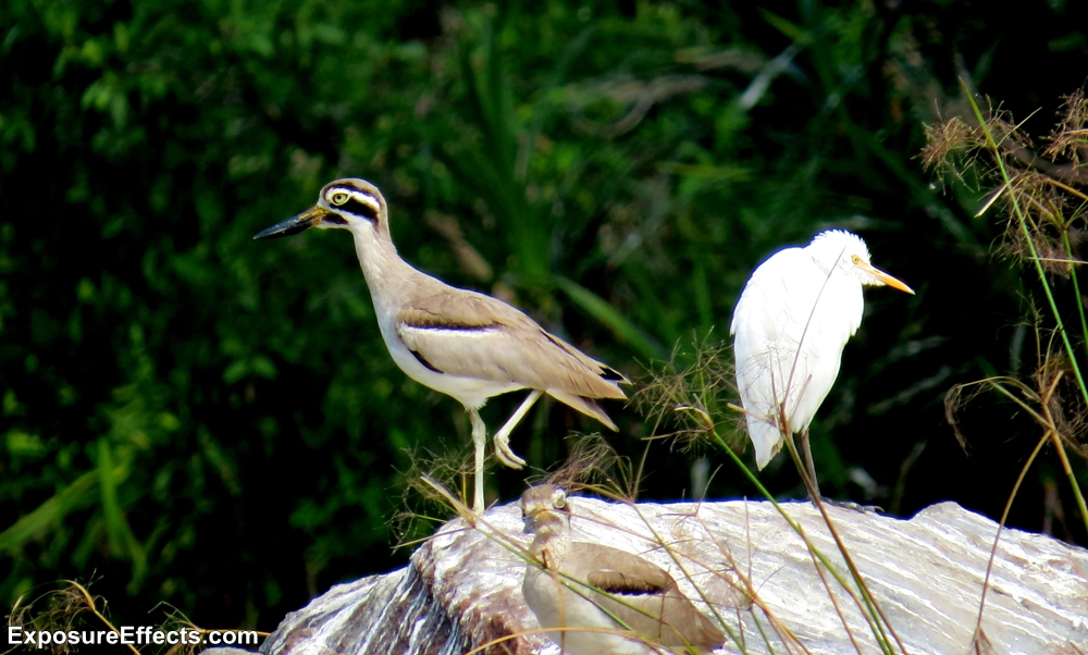 Birds Ranganthittu Bird Sanctuary