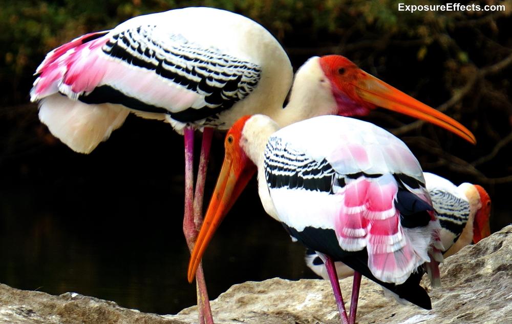 Birds at Ranganthittu Bird Sanctuary Karnataka