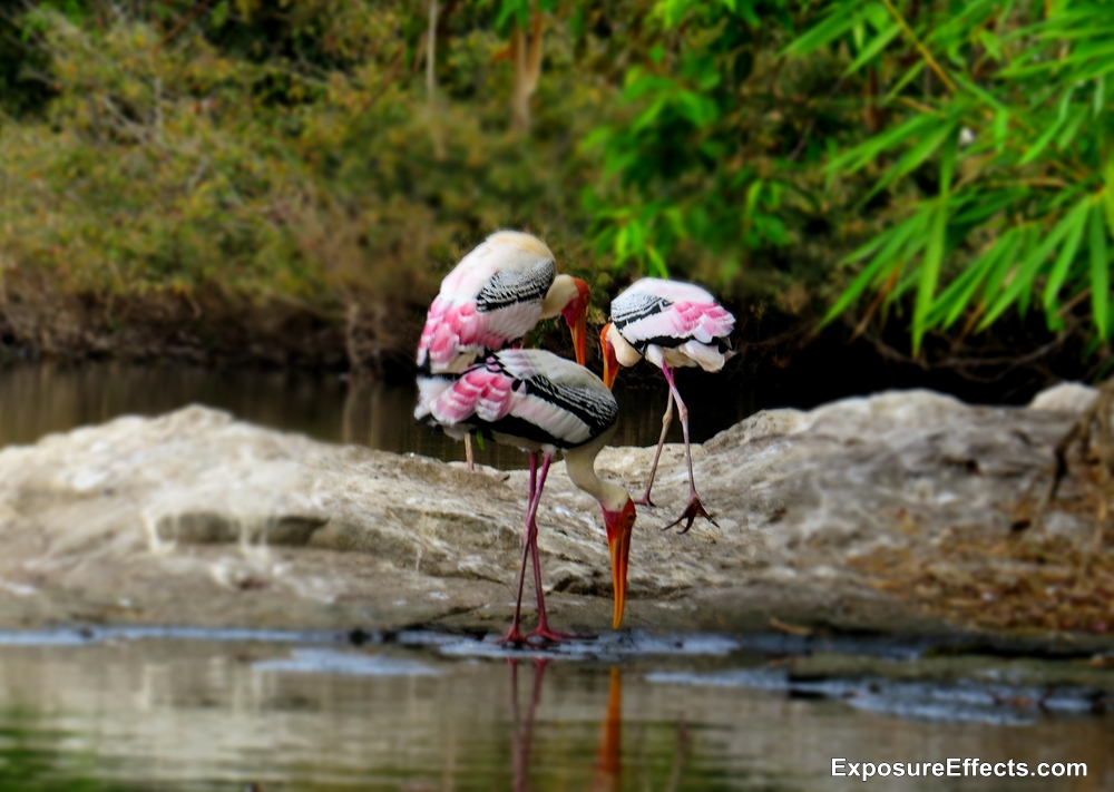 Birds at Ranganthittu Bird Sanctuary Painted Storks