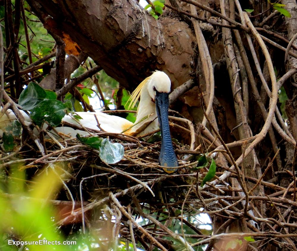 Common Spoonbill Birds at Ranganthittu Bird Sanctuary Karnataka