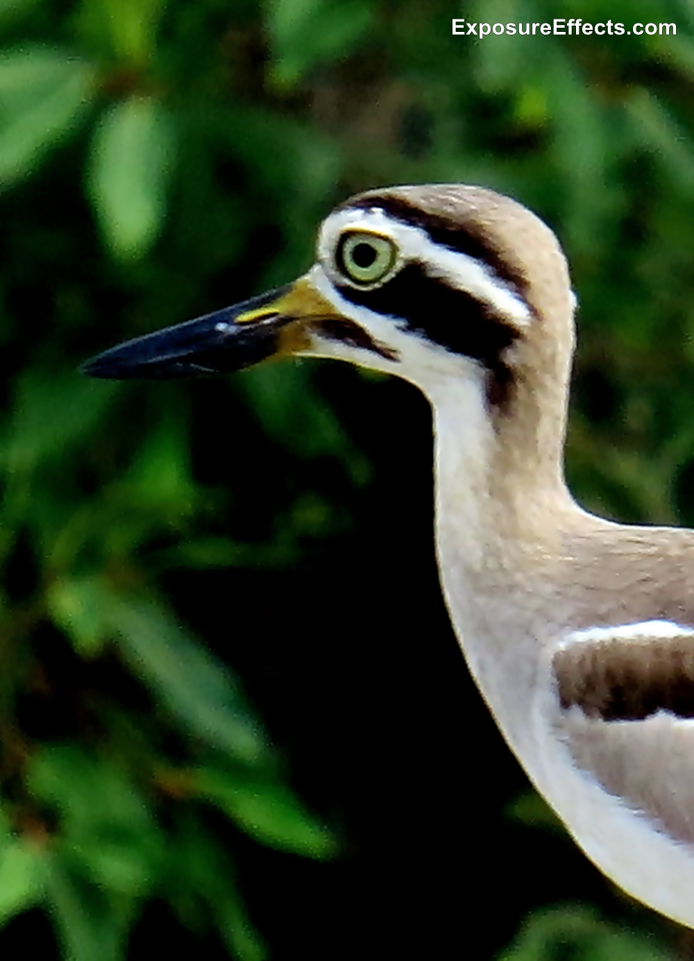 Great Stone-curlew Head and Beak