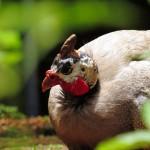 Guinea Fowl Birds – Male and Female
