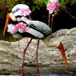 Painted Storks at Ranganthittu Bird Sanctuary