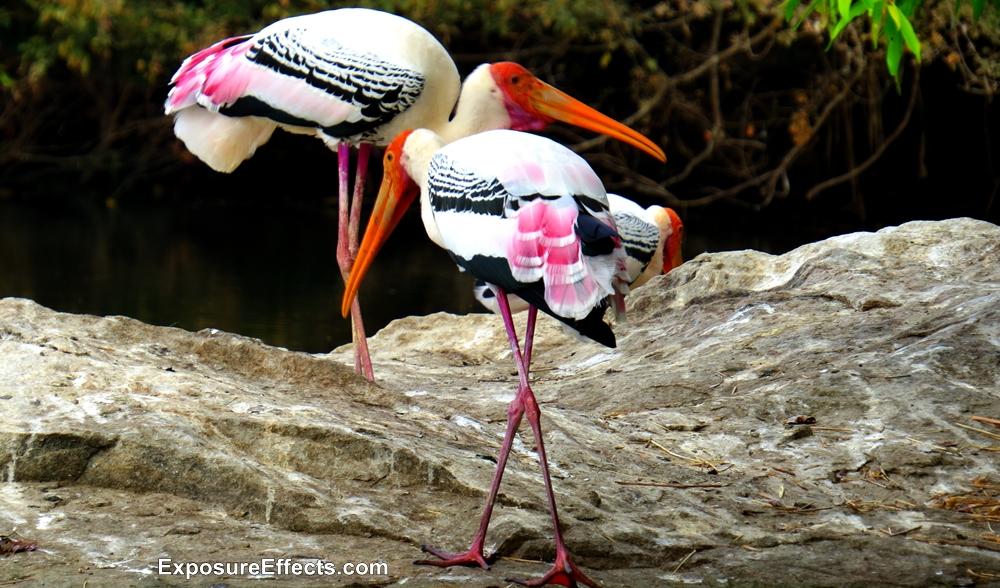 Ranganthittu Bird Sanctuary Birds Painted Storks Pictures