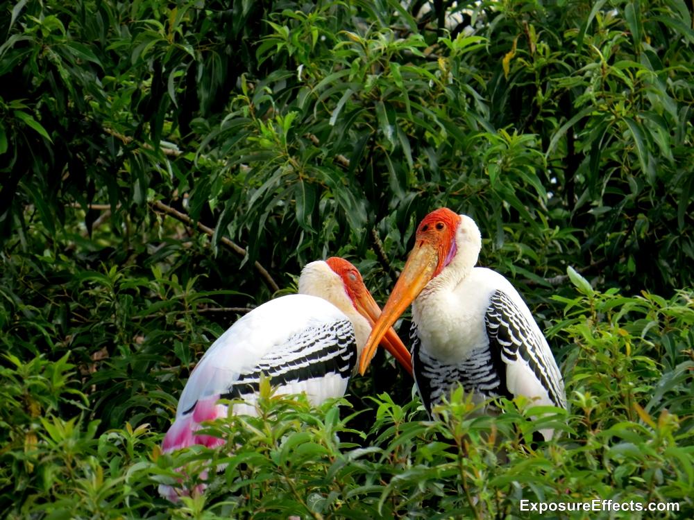 Ranganthittu Bird Sanctuary Birds Painted Storks on Trees