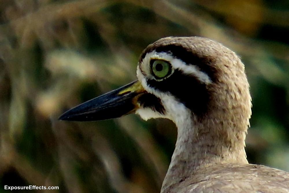 Ranganthittu Bird Sanctuary Karnataka Great Stone-curlew Birds