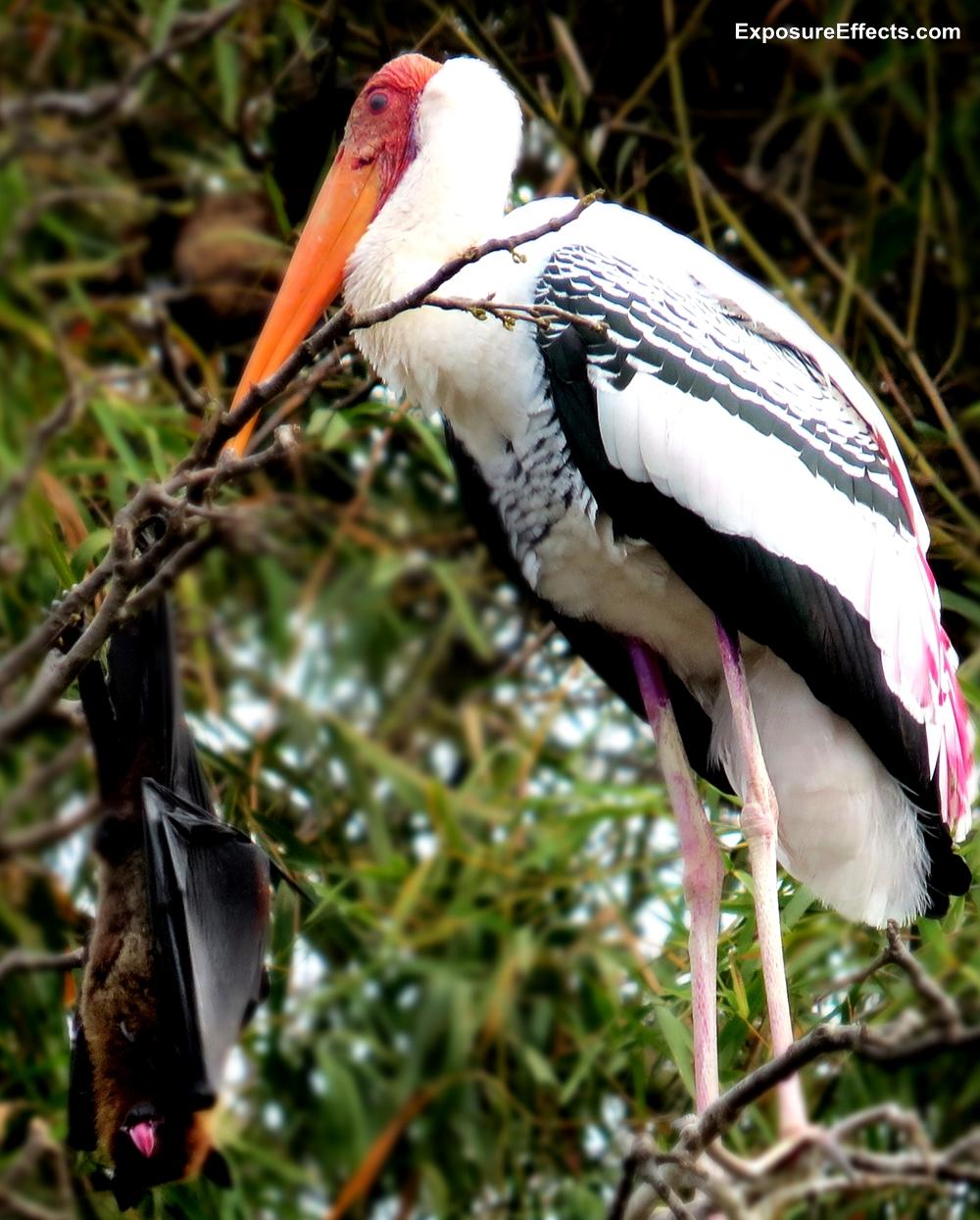 Ranganthittu Bird Sanctuary Karnataka