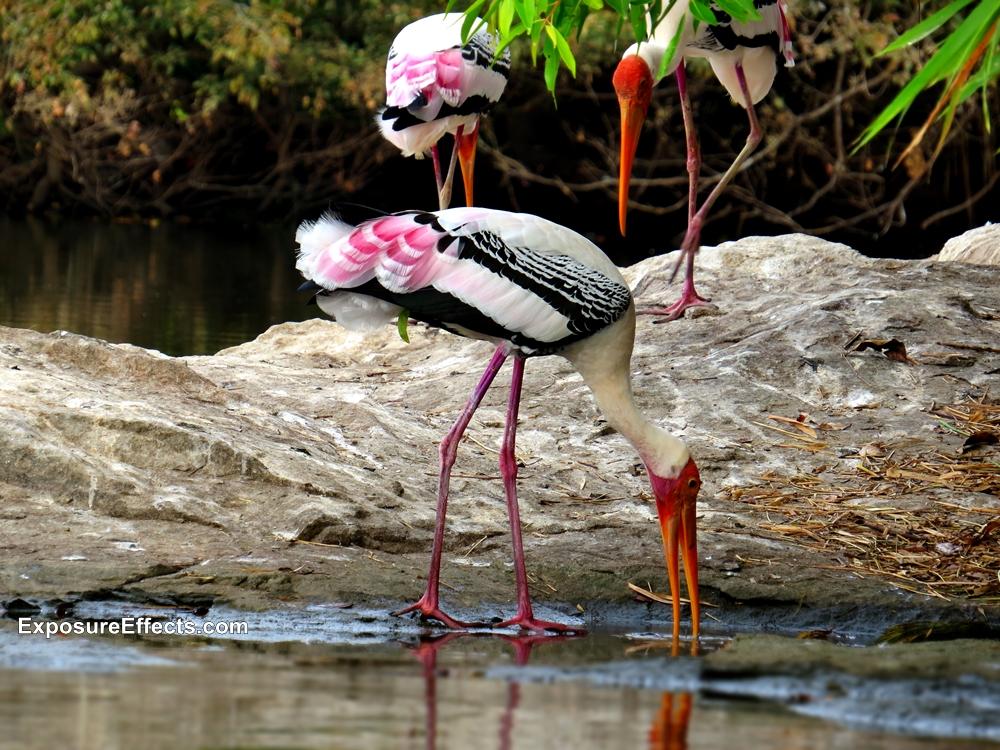 Ranganthittu Bird Sanctuary Pictures