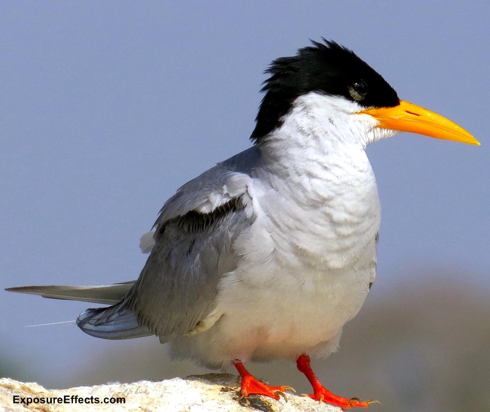 River Tern Bird at Ranganathittu Bird Sanctuary