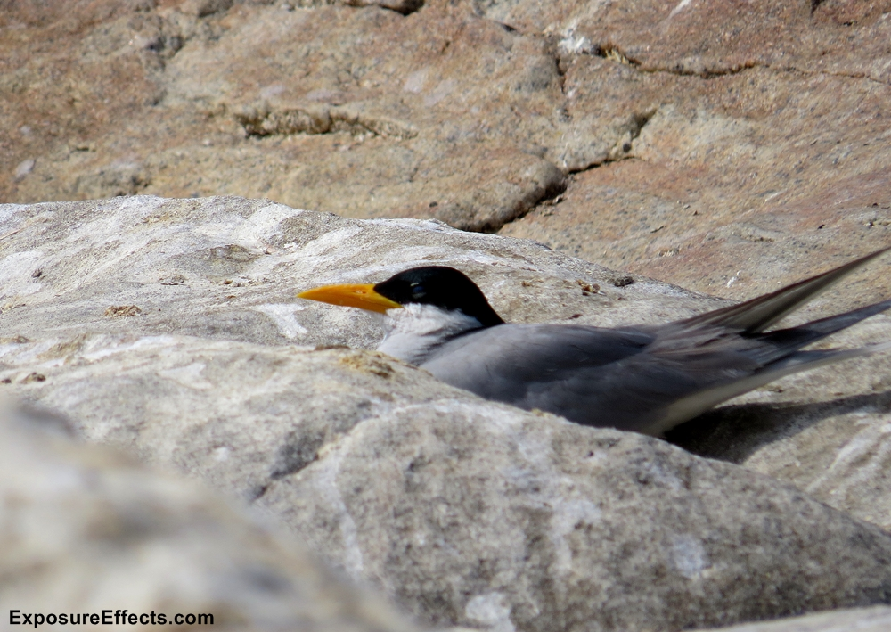 River Tern Birds in Karnataka