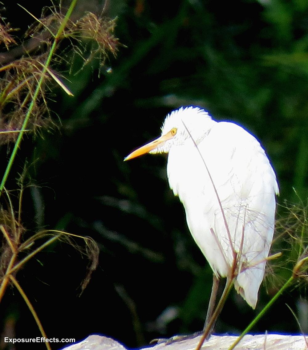 Egret Birds