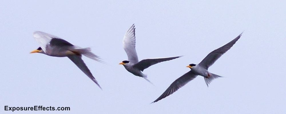 River Tern Birds Pictures