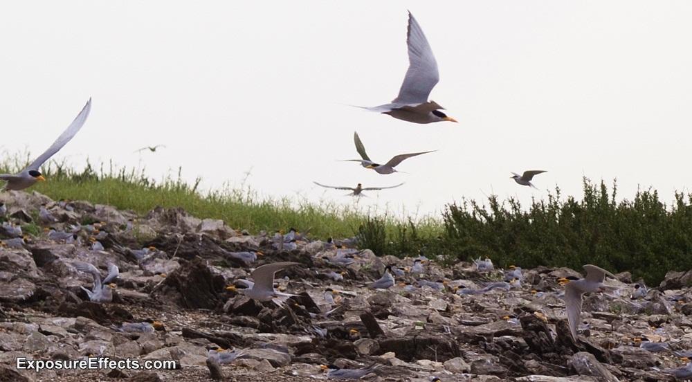 River Tern Birds at Jungle Lodges and Resorts River Tern Lodges