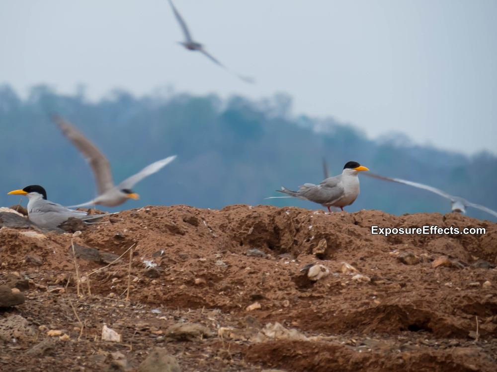 River Tern Birds at River Tern Lodge Jungle Lodges and Resorts