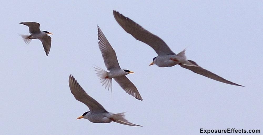 River Tern Birds