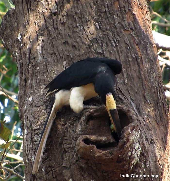 Malabar Pied Hornbill nesting pics