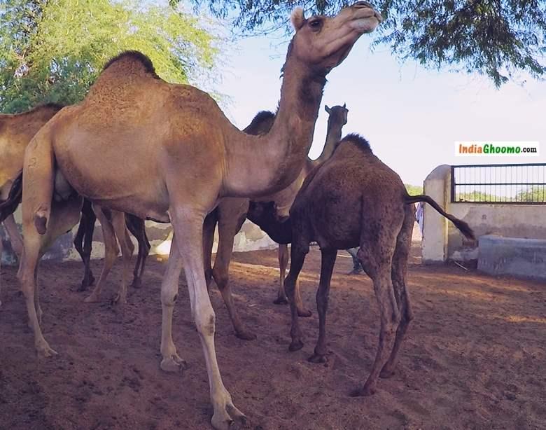 National Research Centre on Camel Bikaner Rajasthan