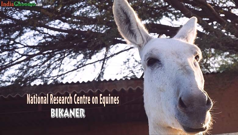 National Research Centre on Equines Bikaner