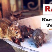 Rats at Karni Mata Temple Bikaner in Rajasthan