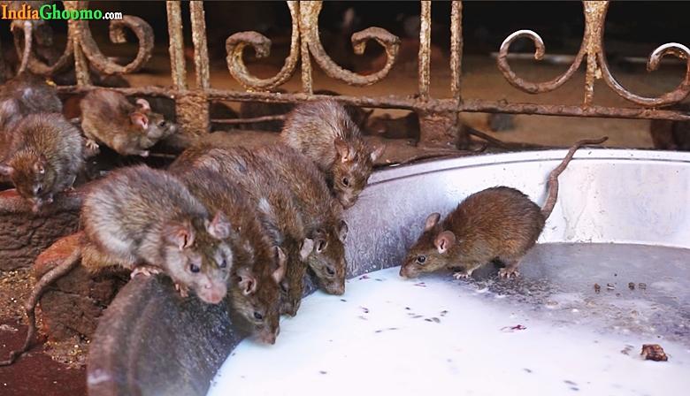 Rats at Karni Mata Temple Rajasthan