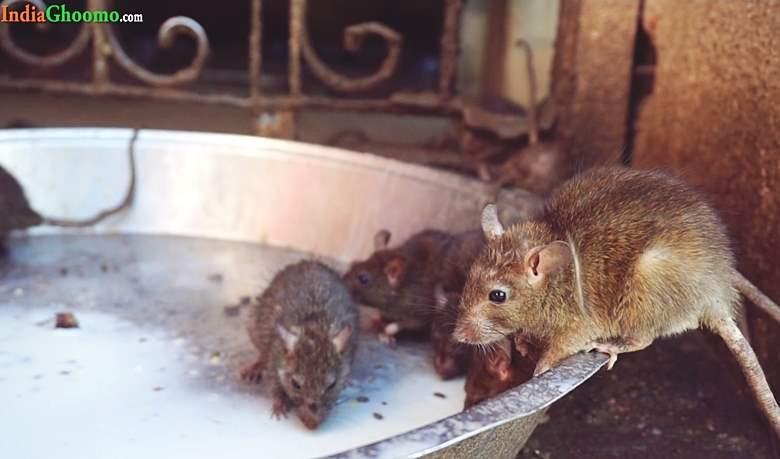 Rats at Karni Mata Temple in Bikaner Rajasthan