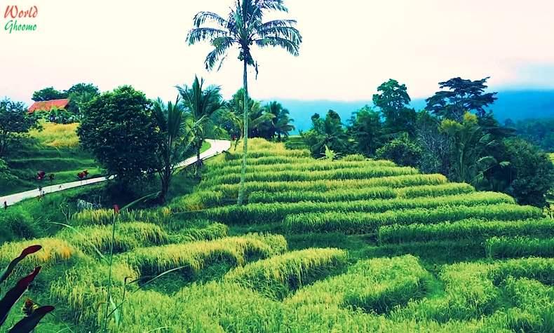 Bali Rice Terraces Jatiluwih Rice Terraces