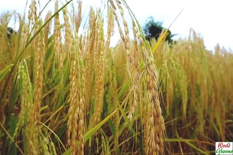 Bali rice farms