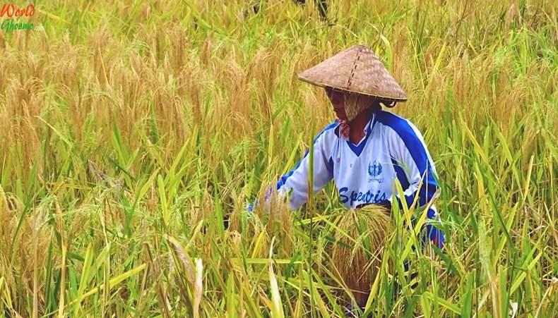 Balinese farmers at Jatiluwih Rice Terraces
