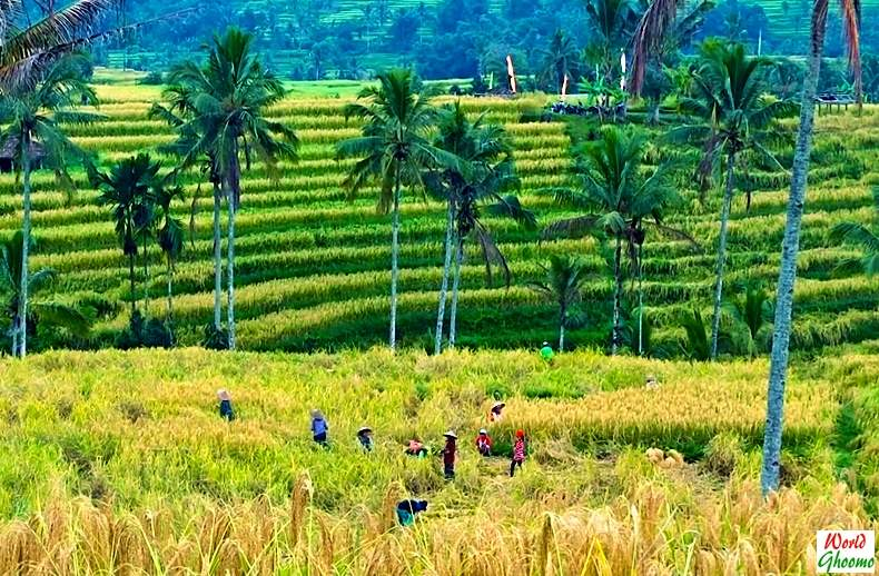 Jatiluwih Rice Terraces bali panaroma